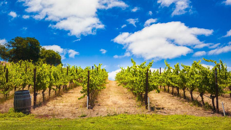 Wine farm Plant