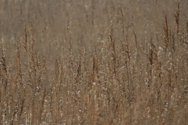 Winter Botany Structure And Nature Structures & Lines Botanical Colors Ornaments Color Of Life Wintertime Wildlife Rural Scene Backgrounds Wheat Full Frame Field Plant Close-up Reed - Grass Family