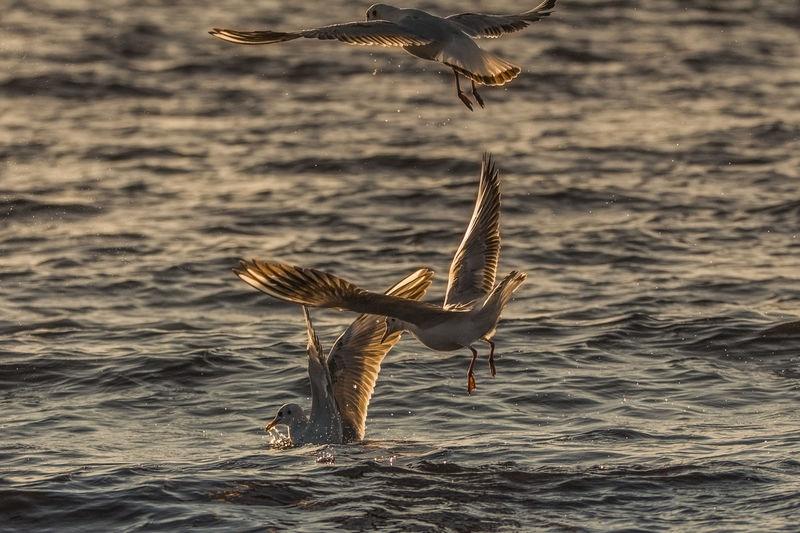 Seagulls flying over sea