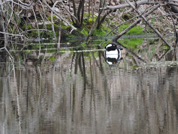 Hooded Merganser Day Duck Forest Nature No People Outdoors Pond Life Pond Reflectioins Reflection Scenics Tree Water Waterfront