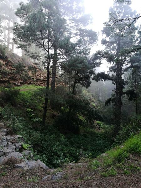 Las Raíces Tenerife Nature Tree Beauty In Nature No People Tranquility Green Color