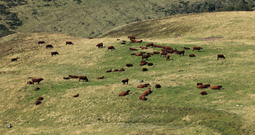 Herd of cows grazing. Central Massif Farm Life Grazing Aerial View Animal Animal Themes Brown Cattle Cow Cows Domestic Animals Grass Grazing Herd Herd Of Cows Landscape Large Group Of Animals Livestock Mammal Mountain Nature Outdoors Sallers
