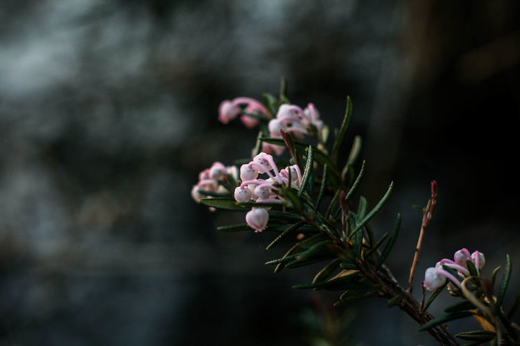 Beauty In Nature Botany Bud Cherry Blossom Close-up Day Flower Flower Head Flowering Plant Focus On Foreground Fragility Freshness Growth Inflorescence Lilac Nature No People Outdoors Petal Pink Color Plant Selective Focus Springtime Vulnerability