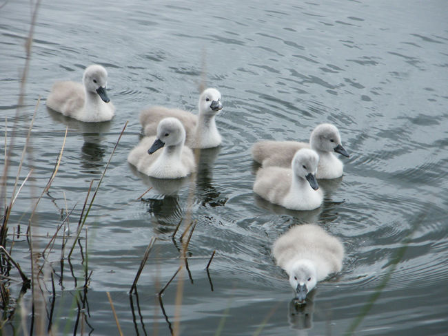 Animal Themes Animal Wildlife Animals In The Wild Bird Close-up Cygnet Day Lake Nature No People Outdoors Swan Swimming Cygnets Togetherness Water Young Animal Young Bird