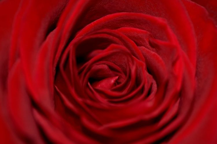 Red rose Macro Macro Photography Beauty In Nature Nature Flower Flower Head Flower Silk Backgrounds Red Full Frame Rose - Flower Textured  Satin Smooth Rose Petals Single Rose Valentine Day - Holiday Flower Market Petal Valentine's Day - Holiday Single Flower Valentine Card Plant Life My Best Photo