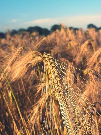 Close-up of corn in field