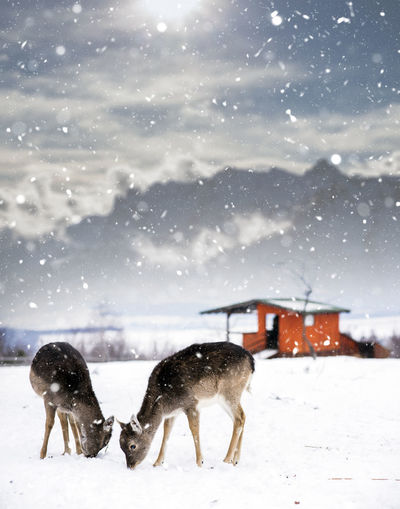 Deer on snow covered field during winter