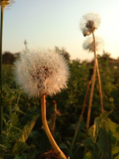 Flower Dandelion Fragility Plant ..we Blew This Day Away..