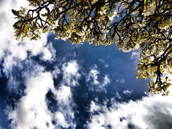Old Tree Pear Tree  Pear Blossom Pyrus Sky And Clouds Nature Pattern
