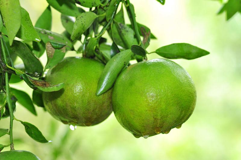 Orange on tree Tree Fruit Branch Leaf Agriculture Citrus Fruit Unripe Close-up Green Color Food And Drink