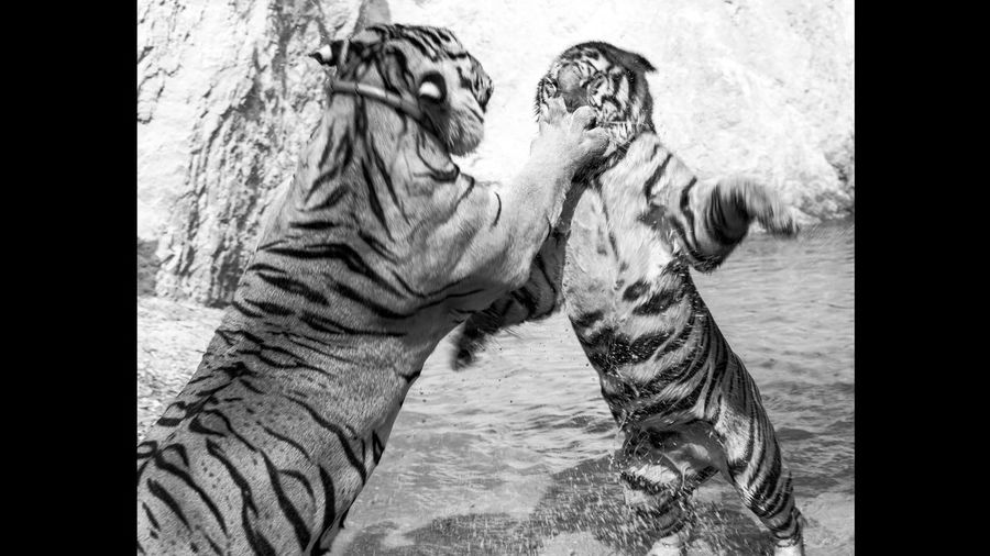 Tiger Temple Travel Photography Travelphotography Blackandwhite Black And White Tiger Tigers Tiger-love Catfight