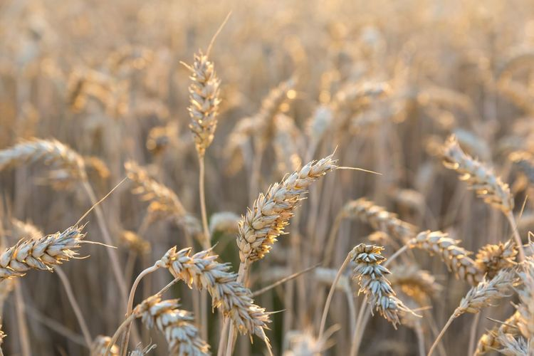 Wheat Fragility Psenicny Klas Psenica Field EyeEm Selects Freshnesss Nature EyeEm Nature Lover EyeEm Gallery Wheat Field Wheat Cereal Plant Agriculture Yellow Gold Colored Backgrounds Sunlight Cultivated Farmland Cultivated Land Whole Wheat