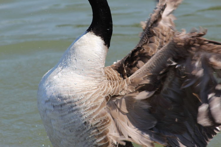 Preaning EyeEm Selects Nature Beauty In Nature Nature_collection Waters Edge Water Background Canada Goose Bird Water Close-up Water Bird Feather  Goose