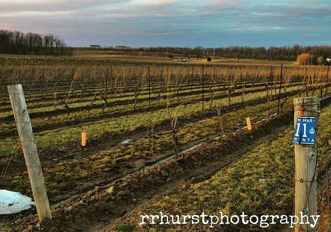 Let the vines be fruitful this year. @wineriesofniagara Vinelandestateswinery Vineland Winery Cloudysky Evening Vines Grapes Vineyards  Earth Beautiful Niagararegion Wineproducers Springaroundthecorner Lovewine Ontario Canada Outdoorphotography Getoutside OutsideIsFree Southernontariophotographer Nikonphotographers Prophotographer Nikond7000 Rrhurstphotography Artsburlington latowphotographersguild