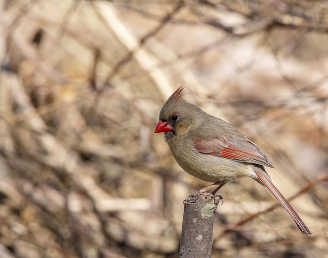 A beautiful female northern cardinal. Bird Animal Themes Perching Animal One Animal Animal Wildlife Animals In The Wild Cardinal - Bird Red Nature Outdoors Looking Cardinalis Cardinalis Northern Cardinal Females Cardinalidae Wildlife Nature Songbird  Avian Colorful Ornithology  Crested Crested Bird Beauty In Nature