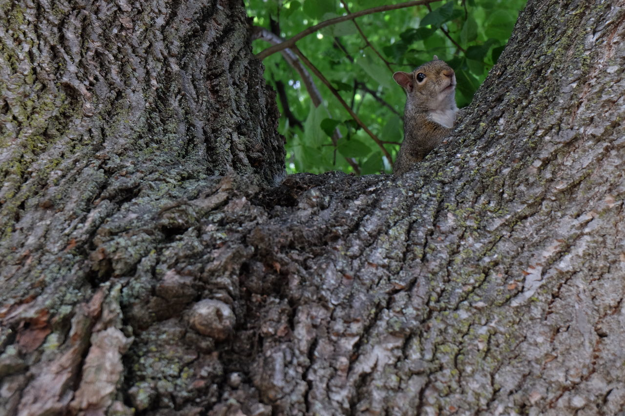 animals in the wild, one animal, animal themes, animal wildlife, tree trunk, tree, day, no people, outdoors, nature, mammal, close-up