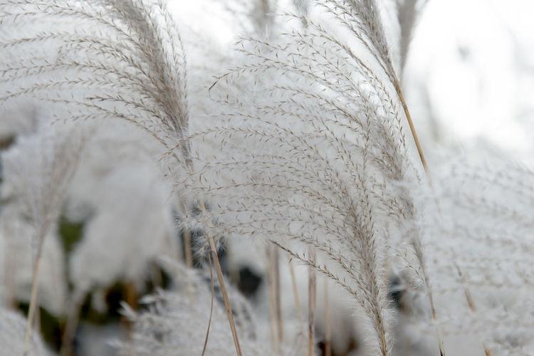 autumn at Hanbat Arboretum in Daejeon, Chungnam, South Korea Autumn Fall Beauty Hanbat Arboretum Silver Grass Arboretum Arboretum Park Close-up Cold Temperature Day Hanbat Park Nature No People Outdoors Silvergrass Snow Winter