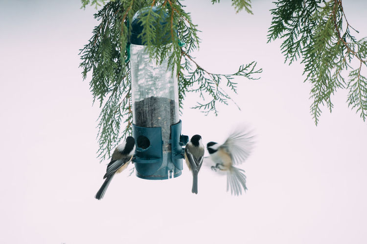 Chickadees feeding and frolicking. Nature Wildlife Winter