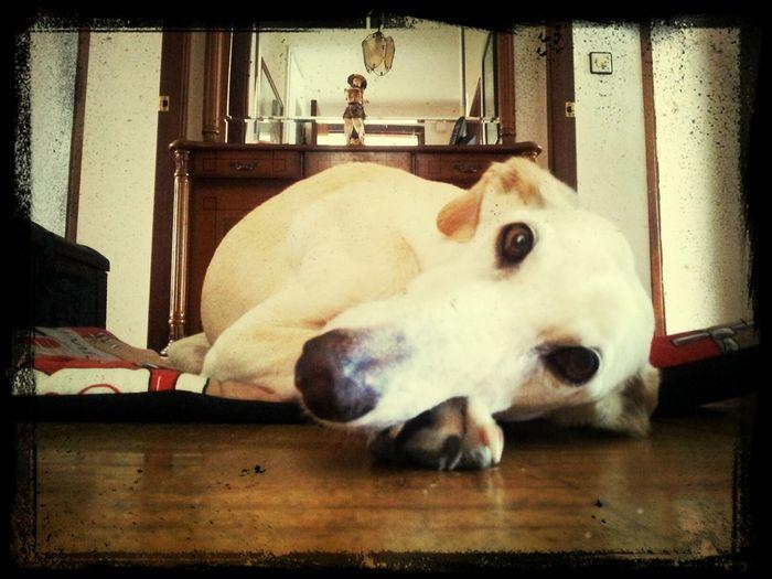 Cariño Fondness Galgo Greyhound