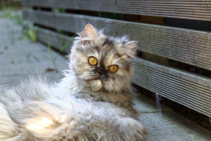 A persian cat lying down. Animal Animal Eye Animal Head  Animal Themes Cat Close-up Domestic Domestic Animals Domestic Cat Feline Fur Looking At Camera Mammal No People One Animal Pedigree Persian Cat  Pet Pets Portrait Purebred Cat Relaxation Whisker