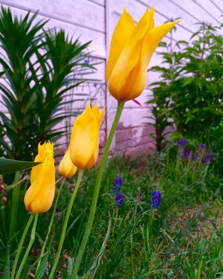 Perfect Lighting At Dusk Yellow Tulips Close-up Sunset Tulips Flower Spring Flowers Yellow Flower Springtime