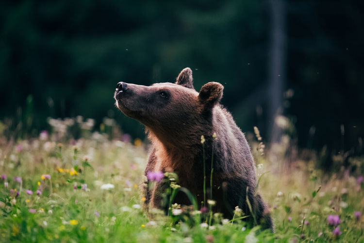 Bear looking away in forest