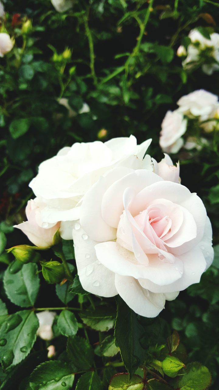 flower, rose - flower, petal, nature, fragility, beauty in nature, flower head, plant, freshness, white color, growth, no people, close-up, day, outdoors, blooming