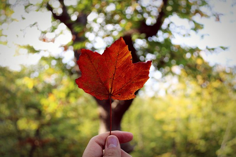 Autumn colors Human Hand Leaf Autumn Human Body Part One Person Holding Focus On Foreground Unrecognizable Person Human Finger Real People Outdoors Day Nature Close-up Maple Leaf Tree Beauty In Nature Lifestyles Maple People Red Eyemphotography EyeEm Best Shots EyeEm Nature Lover Nature