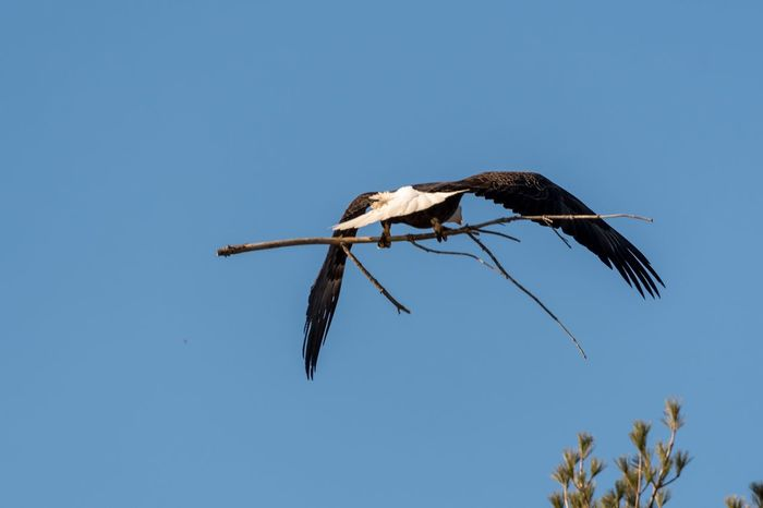 Bald eagle carrying stick for nest building Nest Building Eagle Bald Eagle Clear Sky Bird Low Angle View Animals In The Wild Copy Space Blue No People Animal Themes One Animal Animal Wildlife Flying Spread Wings