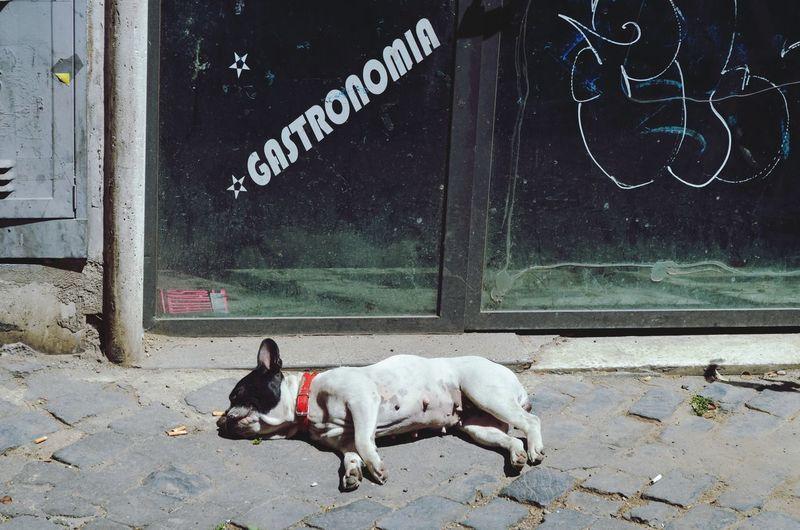 Sleeping bulldog in Rome