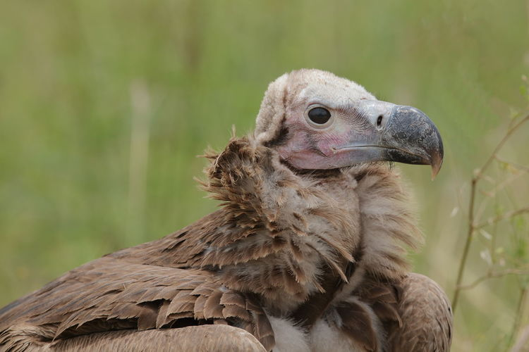 A lappet-faced vulture up close