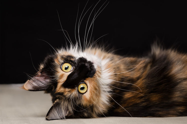 Close-up portrait of maine coon cat resting against black background