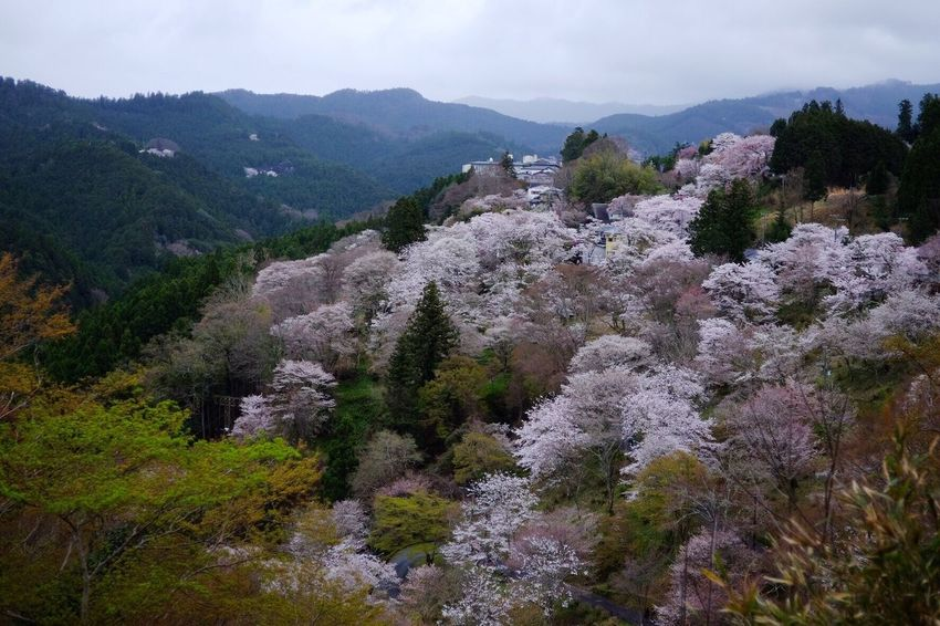 Beauty In Nature FUJIFILM X-T1 Nature Cherry Blossoms Japan Photography Fujifilm