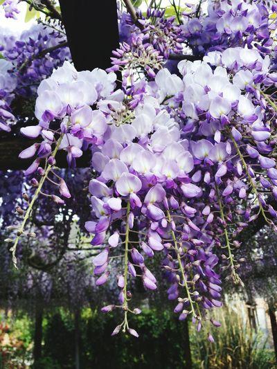Wisteria waterfall Purple Nature Flower Plant