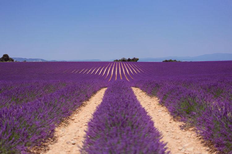 Mediterranean  Provence Landscape Lavender Nature Purple Summer Valensole