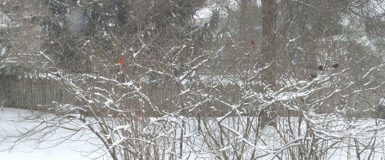 Blizzard 2016 Bird Photography Snow Birds Cardinal Black Bird The Magic Secret Of Life