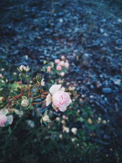 Winter? :) EyeEm Best Shots EyeEm Best Edits EyeEm Nature Lover Minimal Winter Flower Nature Fragility Growth No People Pink Color Day Outdoors Petal Freshness Beauty In Nature Close-up Flower Head Shades Of Winter