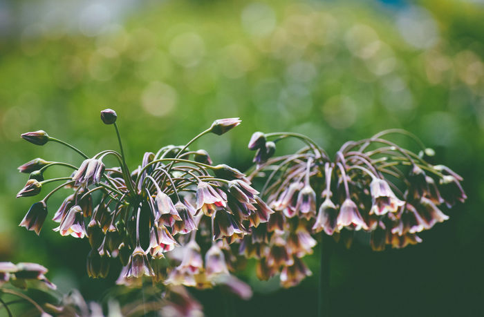 Beauty In Nature Bell Flowers Flowers Glistening Nature Shimmering