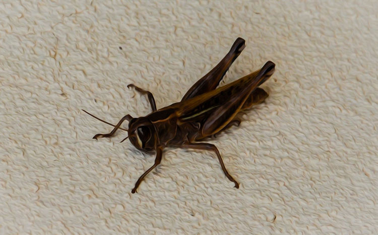 Amimals Animal Themes Close-up Day Grasshopper Insect Narure_collection One Animal