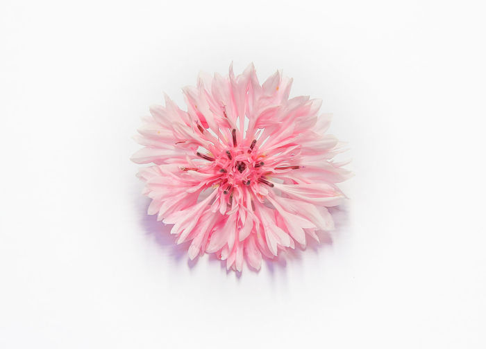 Cornflower Pink
