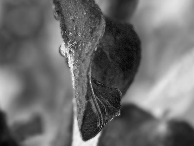 Close-up Focus On Foreground Outdoors Leaf Plant Fremontodendron Californicum Blackandwhite