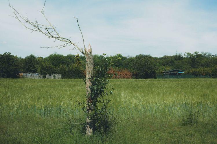 Dead tree Plant