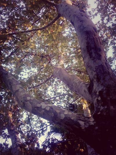Yaşlı Agac . çınar Ağacı sanırsam ??