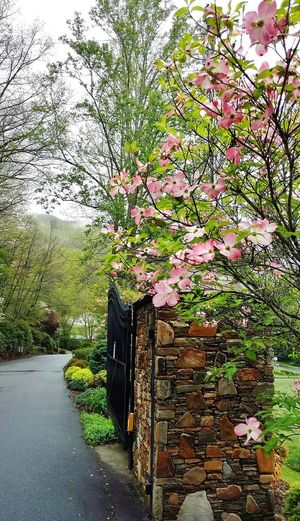 Entrance to Spring! Rock Pillar Pink Dogwood Blooms Green Trees Paved Road Beauty In Nature Trees And Nature Rainy Days EyeEm Nature Lover Eyem Gallery Cell Phone Photography