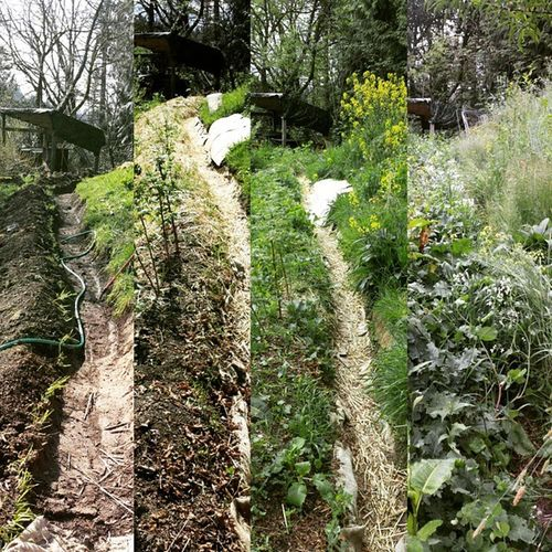 The succession of my little swale is incredible. Swales Permaculturedesign Peas Kale Raspberries Radish Healthyhomesteading