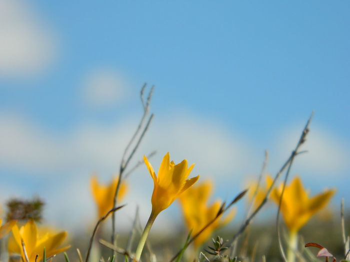 Yellow crocus growing on field against sky