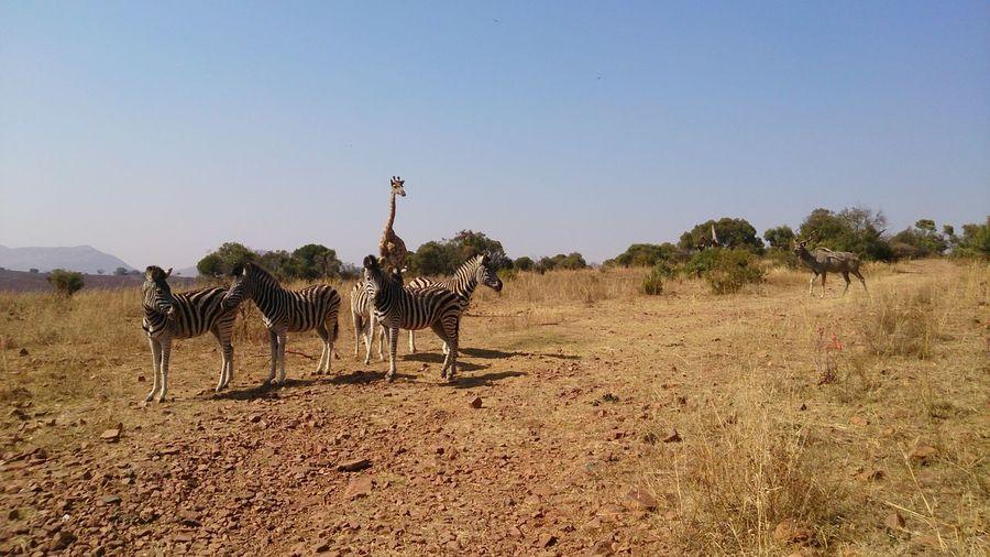 Zebra And Giraffe On Field Against Sky
