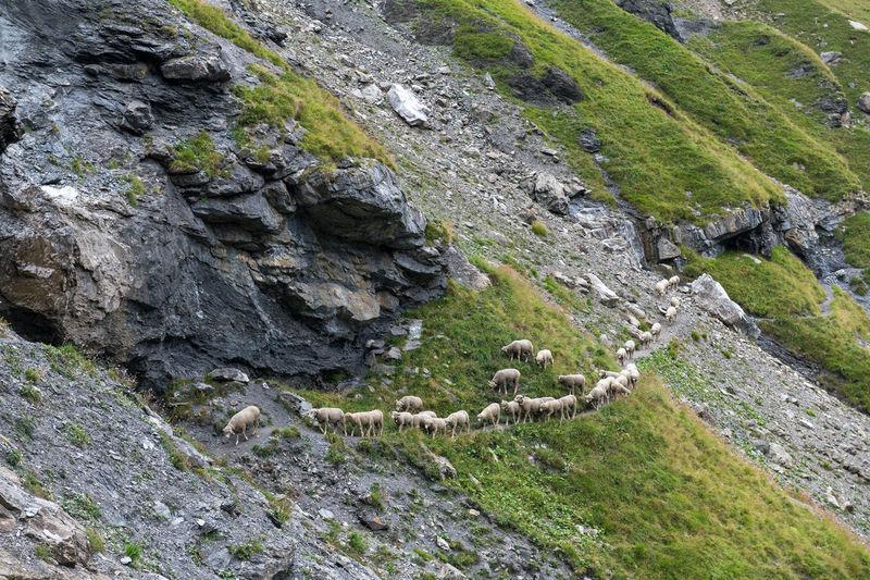 High angle view of sheep walking on mountain