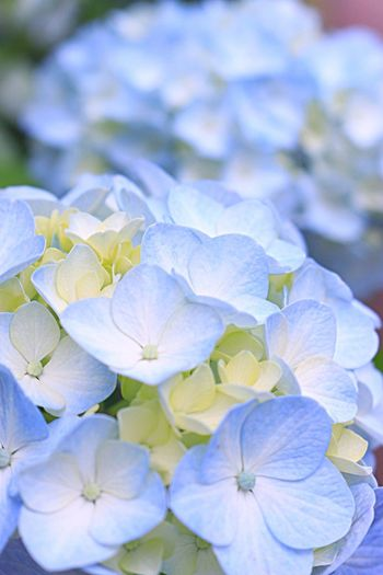 Photography 日本 あじさい 紫陽花 写真 Japan Flowers,Plants & Garden 虹の郷 Flower 花