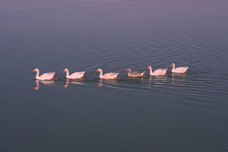 Birds swimming in lake